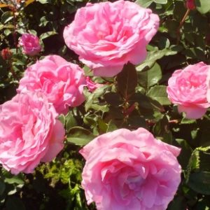 Grandes fleurs