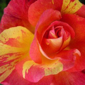 Rose de Marvelle