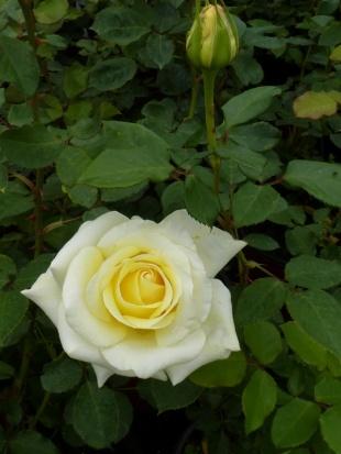 Rose de Peaudouce