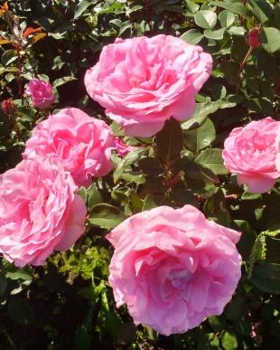 Rose Beverly