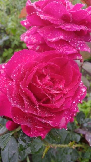 Rose de Big Purple