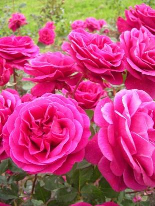 Rose de blackberry nip
