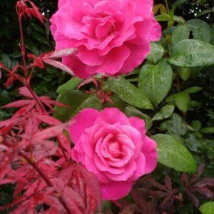 Rose de Caprice de Meilland