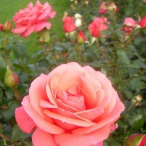 rose de focus