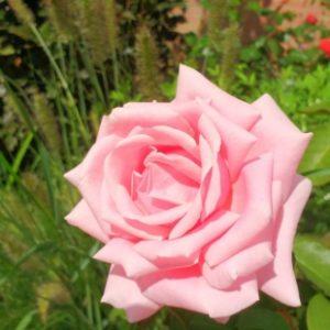 Rose de Frederic Mistral