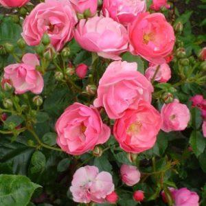 Rosiers arbustes à fleurs