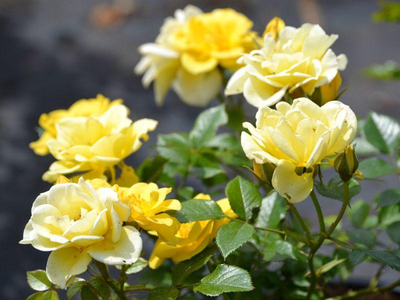 Rozenrijk op rozen zitten